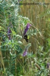 hairy vetch flowering with butterfly