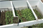 cold frame filled with seedlings