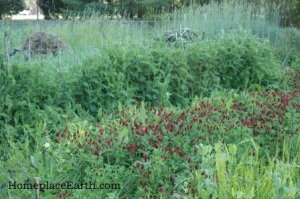 crimson clover and hairy vetch-BLOG