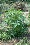 tomato before trimming-BLOG