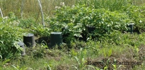potatoes with vole traps-BLOG