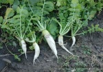 oilseed radish--BLOG