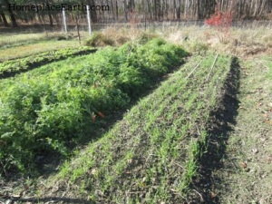 Carrots and rye-in-rows-11-22-12 -BLOG