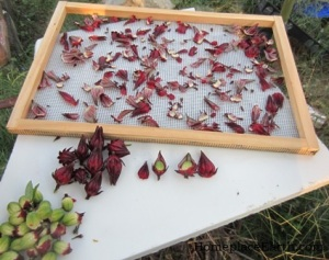 Preparing hibiscus for drying.