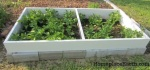 potato plants to grow out in coldframe