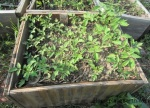 tomato seedlings started in coldframe, moved to flat