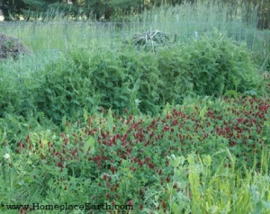 hairy vetch (back) and crimson clover (flowering)
