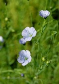 flax-flowers-blog