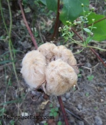 cotton-brown-openboll-copy