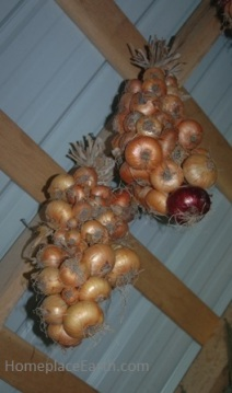 Onion braids hanging in my shed.
