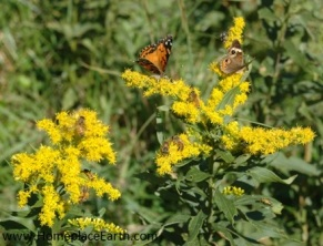 goldenrod with honeybees and butterflies